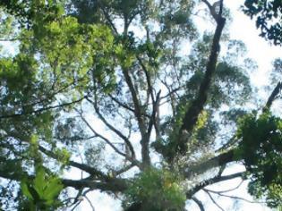 Φωτογραφία για To ψηλότερο τροπικό δέντρο είναι λίγο πιο κοντό από το Μπιγκ Μπεν! [video]