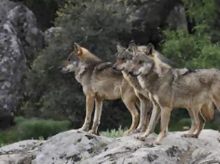 Φωτογραφία για Σε ποιο χωριό μπήκαν λύκοι;