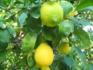 Φωτογραφία για Γιατί τα ελληνικά λεμόνια έχουν εξαφανιστεί;