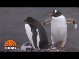 Φωτογραφία για Δύο ομοφυλόφιλοι πιγκουίνοι κλωσσούν ένα αυγό σε ζωολογικό κήπο