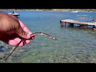 Φωτογραφία για Ναύπλιο: Εντοπίστηκε σπάνιο ψάρι με την ονομασία «κατουρλίδα»