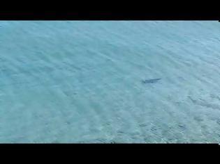Φωτογραφία για Καρχαρίες στα ρηχά: Κυκλοφορούν και στην Ελλάδα;