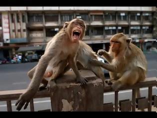 Φωτογραφία για Απίθανο: Πίθηκοι έκλεψαν δείγματα αίματος ασθενών με κορωνοϊό στην Ινδία! (+vid)
